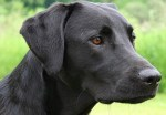labrador_retriever_black_portrait_flickr-e1350559268874